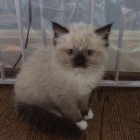 TICA registered purebred Ragdoll Kittens