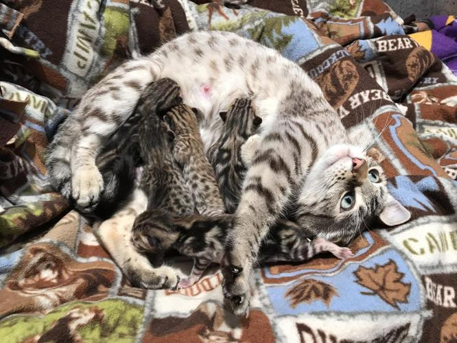 Bengal kittens for sale in minnesota