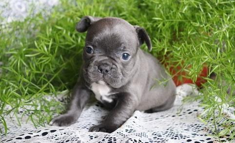 Tidy Cxv Blue French Bulldog Puppies For Sale For Sale In