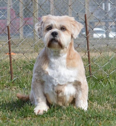 Tierney Shih Tzu Adult - Adoption, Rescue for Sale in Indianapolis