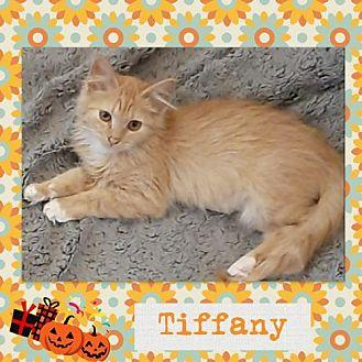 Tiffany Domestic Mediumhair Kitten Female