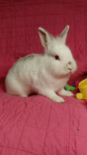 Tiffany Lionhead Adult - Adoption, Rescue