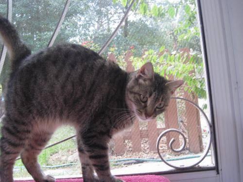 Tiger - Anastasia - Medium - Adult - Female - Cat