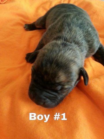 Tiger Brindle Pitbull Puppies For Sale In Pueblo Colorado