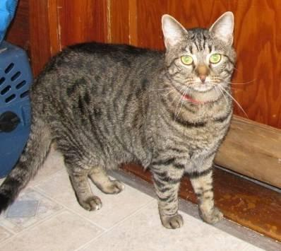 Tiger - Misty - Medium - Adult - Female - Cat