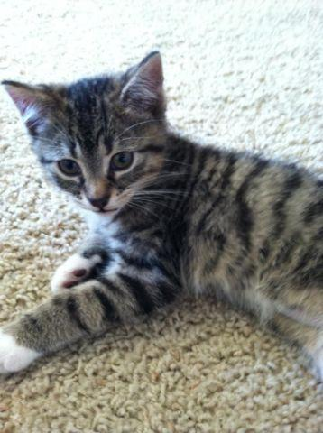 nebraska classifieds ne in lincoln sale americanlisted buy sell all for text kittens siamese and categories