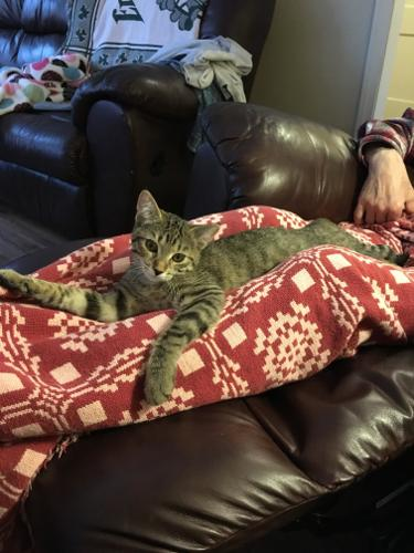 Tigger - Bonded With Samantha Tabby Baby - Adoption,