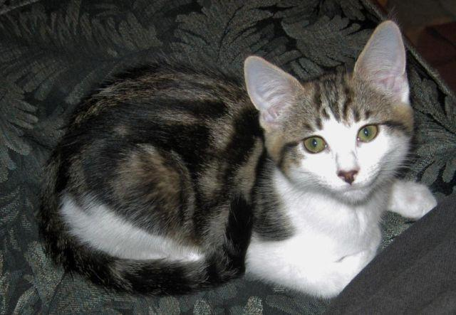 Tim Laid Back Marbled Tabby Amp White Male Kitten For