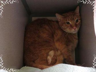 Timmy Domestic Shorthair Adult Male