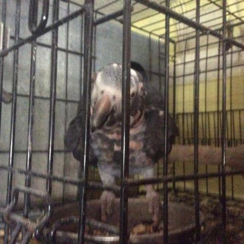 Timneh AFRICAN GREYS for Sale in Kissimmee, Florida