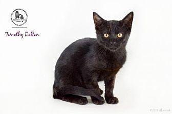 Timothy Dalton Domestic Shorthair Kitten Male