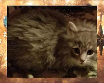 Tinsel Domestic Mediumhair Kitten Male