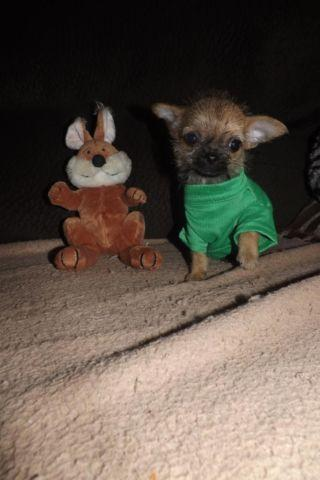 TINY adorable Female Shi Chi Puppy