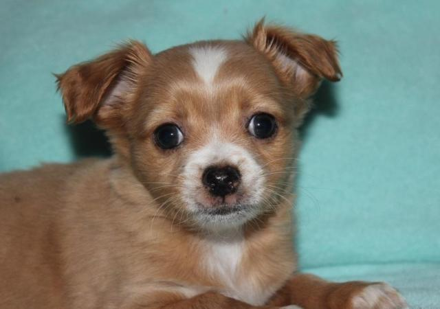 chihuahua for sale in pa tiny akc chihuahua puppies for sale in milford 4044