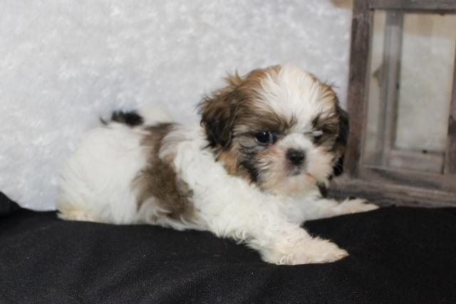 akc shih tzu puppies for sale tiny akc shih tzu male puppy for sale in ellensburg 1802
