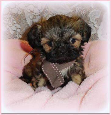 akc shih tzu puppies for sale tiny akc shih tzu puppies for sale in temple north dakota 2217