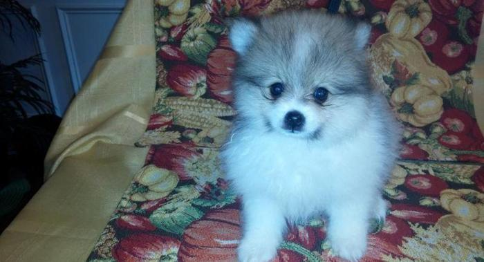 Tiny and Super Cute Pomeranian