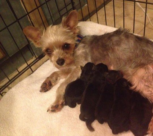 Tiny Baby Yorkies For Sale In Ancho New Mexico Classified