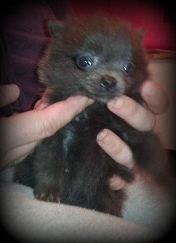 Tiny blue girl pomeranian!!!
