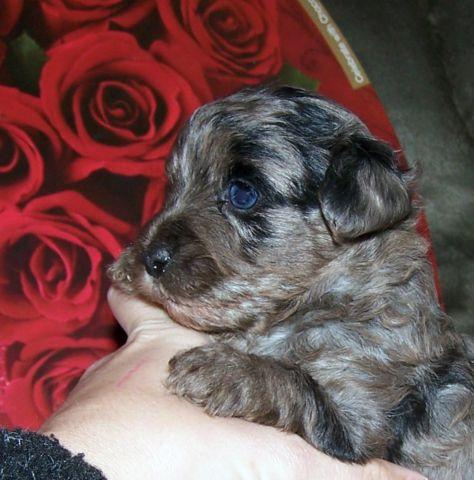 Yorkie Poo For Sale In Florida Classifieds Buy And Sell In Florida