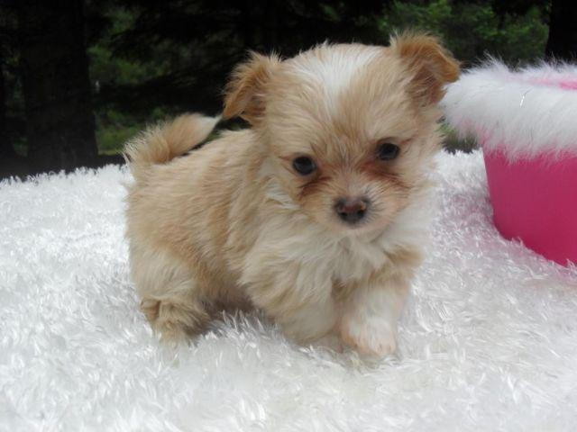 Tiny Buttercup Chi Yorkie Female Puppy For Sale In Bruce