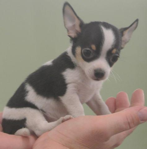 Tiny Chihuahua Puppies Registered For Sale In Malvern Ohio