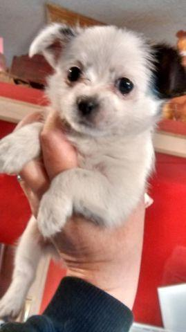 Tiny, chihuahua/yorky/shih-tzu female puppy