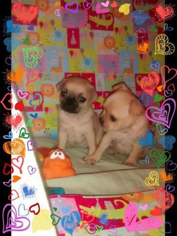 Tiny Chug Puppies