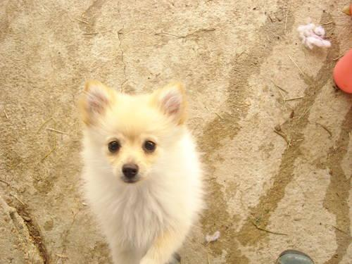 pomeranian breeders va tiny ckc pomeranians for sale in fredericksburg virginia 8488