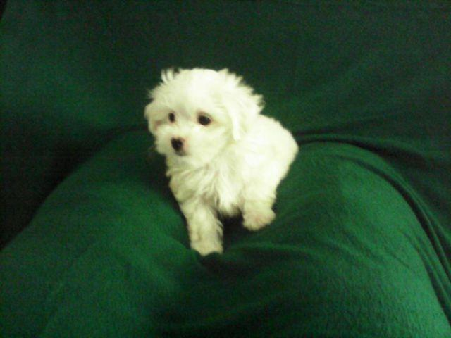 Tiny Female Maltipoo puppy white 9 weeks old