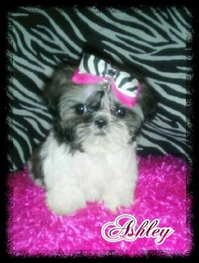 TINY IMPERIAL MALE SHIH TZU (READY NOW!!!)