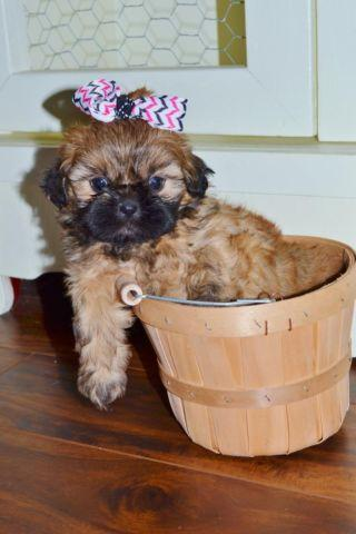 Tiny Imperial Shih Tzu Puppies- Registered- $375
