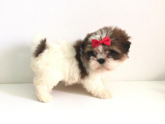 TINY Imperial Shih Tzu Puppies *** for Sale in Pomona