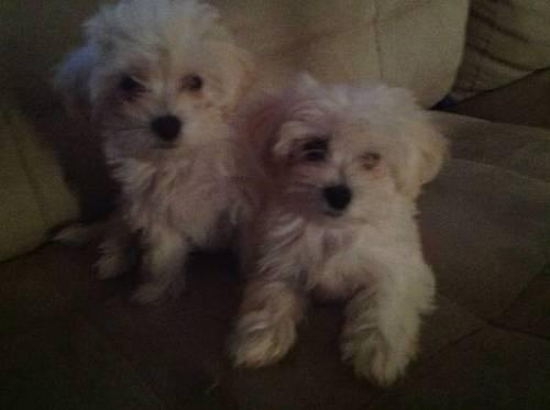 mobile homes for sale riverside california html with Tiny Maltipoo Puppies Maltese Poodle Pups 26133707 on Cheap Mobile Homes For Sale moreover 59992000 Lincoln Navigator 3rd Seatfully Loadedlow Price 19021632 in addition Palm Springs likewise 1990 Ford Chinook Class B Motorhome 22071559 moreover 69951995 27 Fleetwood Prowler Slideoutvery Clean 18909455.