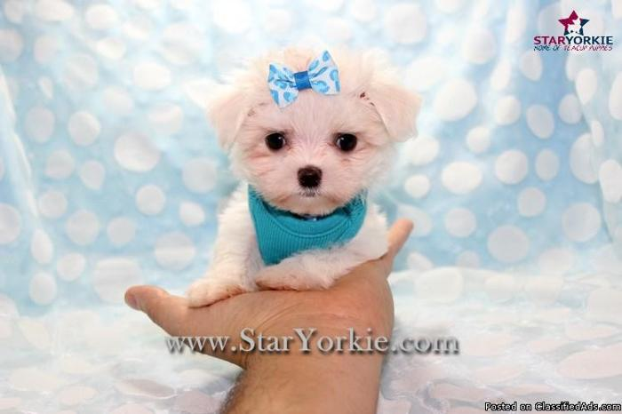 Tiny Micro Teacup Maltese Puppies By Breeder Available Now In Las