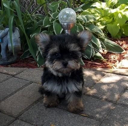 yorkie mixed puppies for sale mn tiny morkie female puppy yorkie maltese adorable for 9052