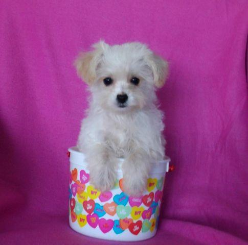 Tiny Morkie Poo Puppies Morkiepoodle So Cute For Sale In