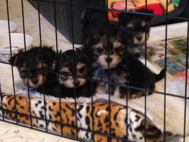 Tiny Morkie Puppies Doll faces