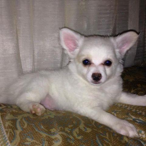chihuahua for sale in va tiny pomeranian chihuahua puppies for sale in virginia 8553
