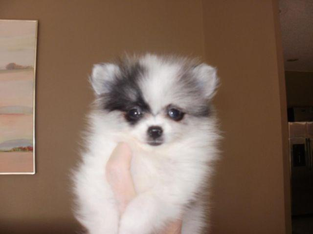 blue pomeranian for sale tiny pomeranian female blue merle parti for sale in oviedo 1207