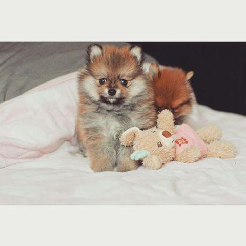 Tiny Pomeranian Puppies For Sale In Fullerton California
