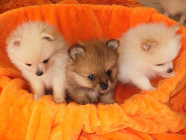 tiny pomeranians puppies