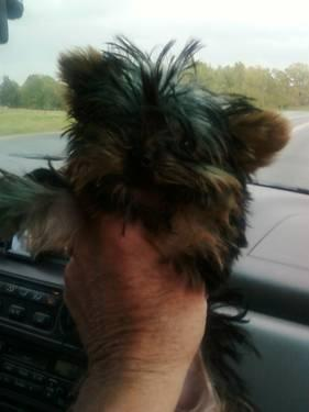 tiny tea cup male yorkie for sale 5 months old d.o.b.