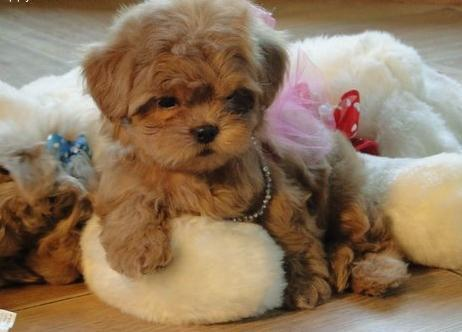 Tiny Tea Cup Maltipoo Puppies For