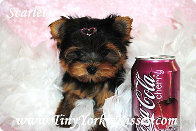 Tiny Teacup and Toy Size Yorkie Puppies for Sale in