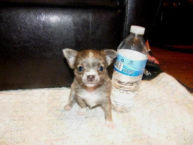 TINY TEACUP - Brindled Blue Long Coat Chihuahua