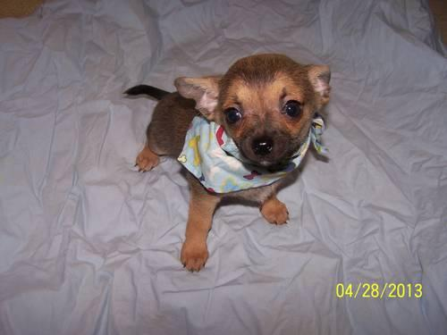 TINY Teacup Chihuahua short hair MALE Griz READY NOW