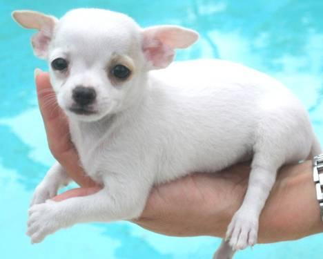 TINY TEACUP CHIHUAHUA - WHITE - CKC for Sale in ...