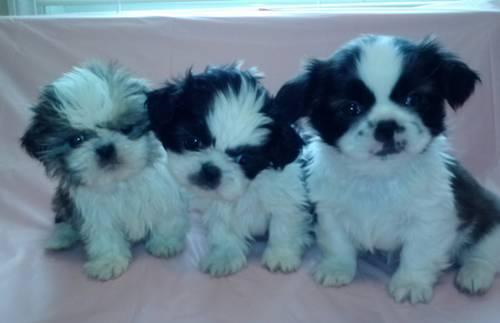 shih tzu breeders in md tiny teacup ckc imperial shih tzu puppies 8 weeks old 2322