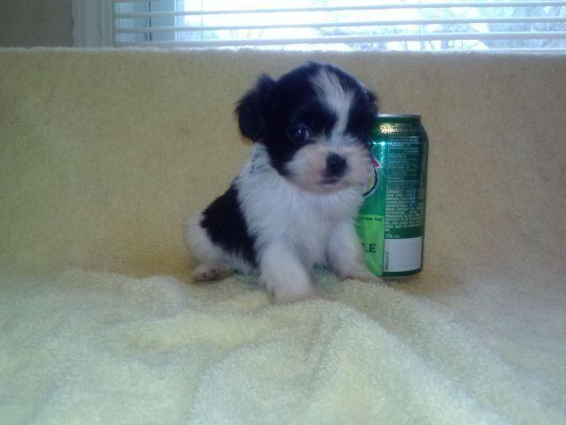 Tiny TEACUP CKC Reg  Imperial Shih Tzu Puppies 8 weeks old